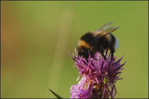 FOTKA - Včelí bručounek