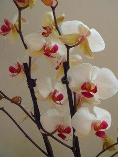 FOTKA - Orchidejka zblízka