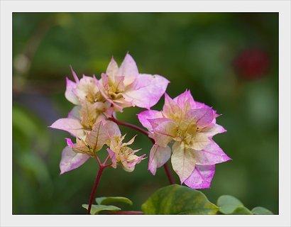 FOTKA - květy bougenvillie