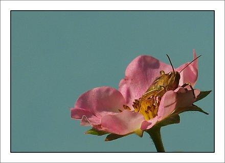 FOTKA - koník na květu jahody