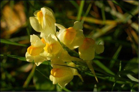 FOTKA - Lnice květel (len matky boží)