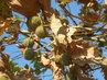 podzimni platan