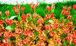 tulipány....