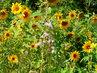 Drobné slunečnice