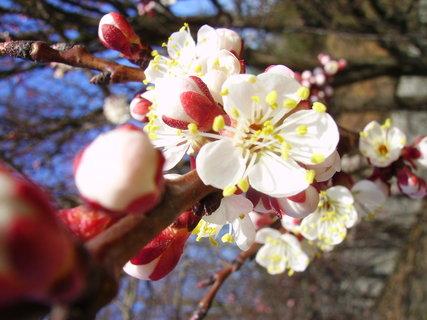 FOTKA - Květy stromu
