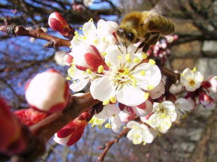 FOTKA - Včelka si přilítla pro medový nektar