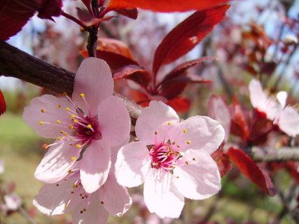 FOTKA - Růžový keř