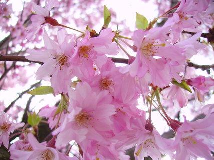 FOTKA - Růžový strom