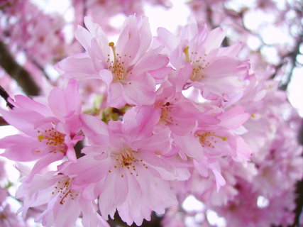 FOTKA - Strom s růžovými květy