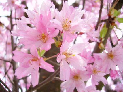 FOTKA - Jarní růžová krása
