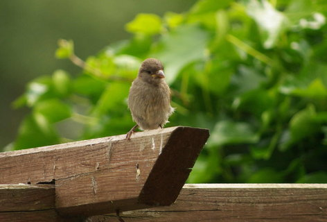 FOTKA - vrabcak... dnes byl jeden uloven, letosni prvni :(
