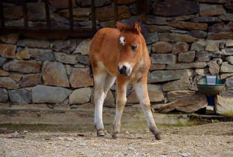 FOTKA - Hříbě poníka shetlandského