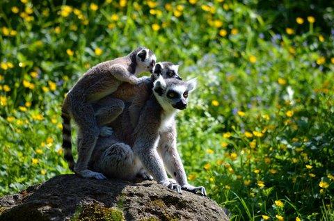 FOTKA - Lemur kata
