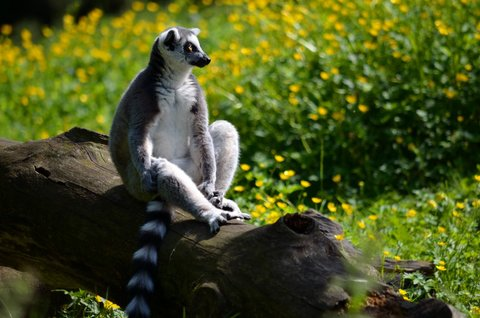 FOTKA - Lemur se vyhřívá na sluníčku