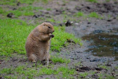 FOTKA - Psoun prériový