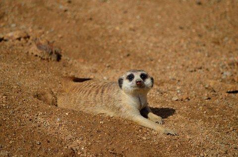 FOTKA - Přátelsky naladěná surikata