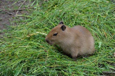FOTKA - Mládě kapybary