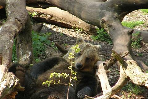 FOTKA - Zoopark Chomutov - spící medvěd