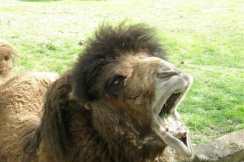 FOTKA - Zoopark Chomutov  - táta velbloud