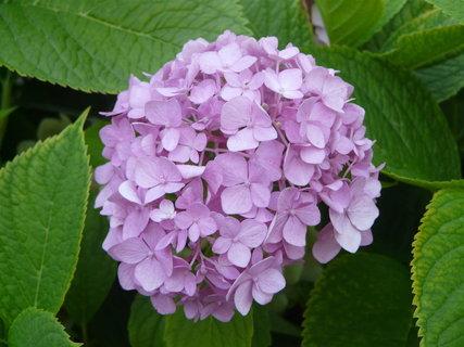 FOTKA - fialkova hortenzie