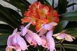 Orchidej+klivie