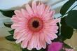 květ gerbery