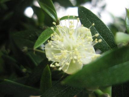 FOTKA - květ myrty
