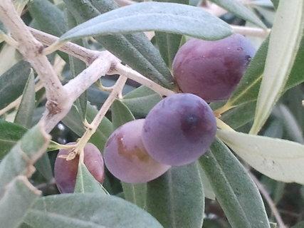 FOTKA - zraji olivy