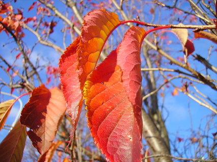 FOTKA - Červené listy stromu