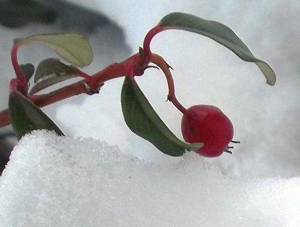 FOTKA - Pod snížkem..10