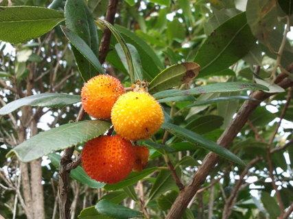 FOTKA - sorbus - lahodne, malo zname ovoce