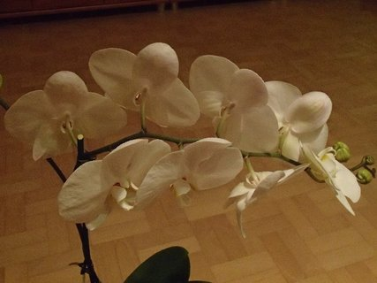 FOTKA - biela orchidea