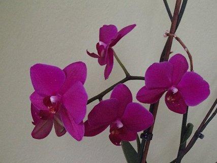 FOTKA - orchidea opäť kvitne