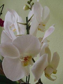FOTKA - biela orchidea..