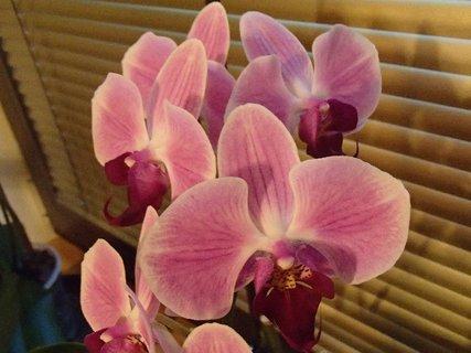 FOTKA - ružová orchidea tiež vykvitla