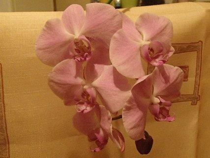 FOTKA - kvietky bledoružovej orchidei