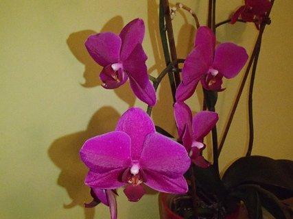 FOTKA - fialovoružová orchidea