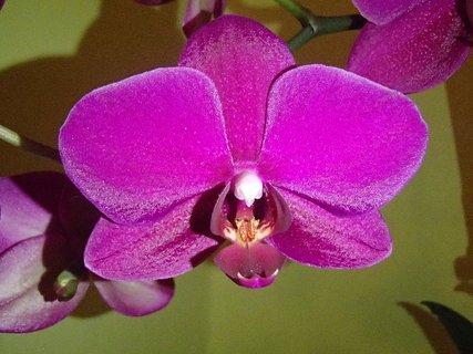 FOTKA - kvietok fialovoružovej orchidei
