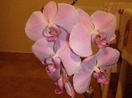 FOTKA - trs bledoružovej orchidei