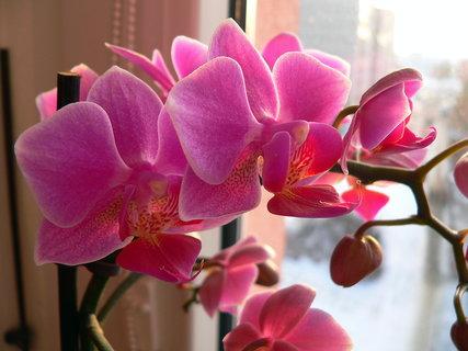 FOTKA - Orchideje IV