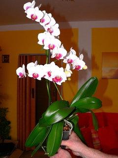 FOTKA - Orchideje VI