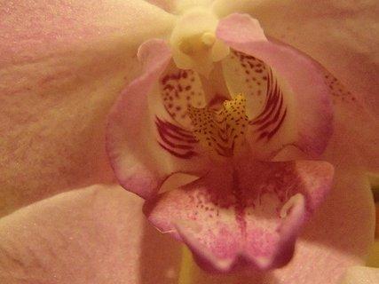 FOTKA - detail prostriedku bledoružovej orchidei