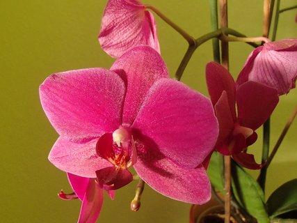 FOTKA - ružová orchidejka