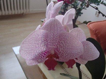 FOTKA - prskaná ružová orchidea.