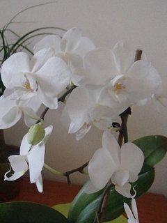 FOTKA - nová orchidea-má drobnejšie kvietky, ale je pekná