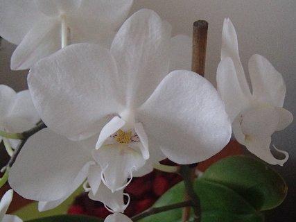 FOTKA - detail na kvietky novej orchidei