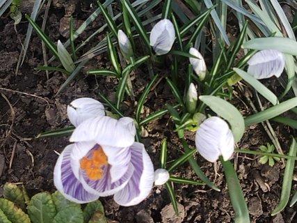 FOTKA - prvý fialový krokus už kvitne