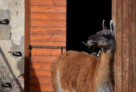 FOTKA - Lama guanaco