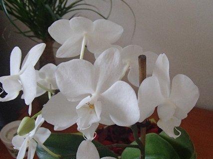 FOTKA - detail na kvietky bielej orchidei