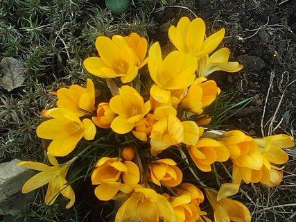 FOTKA - žlté krokusy dnes